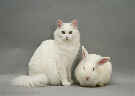 pets white rabbit white cat photo wp imgstockscom
