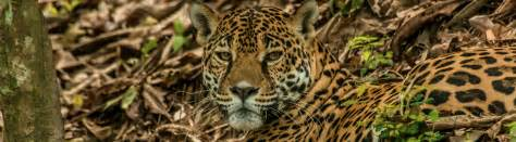 species profile jaguar panther onca rainforest alliance