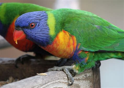 richard waring s birds of australia rainbow lorikeets