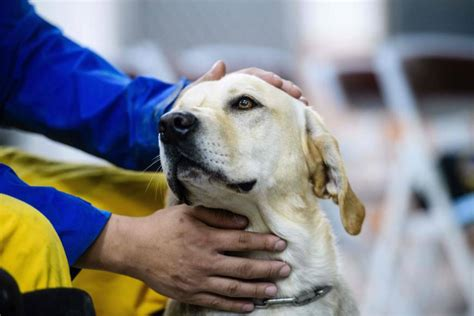 rescue golden retrievers from taiwan rookie rescue sniffs out survivor from taiwan quake rubble the disaster