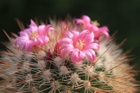 wallpaper bunga kaktus foto gratis cantik kaktus bunga bunga gambar gratis
