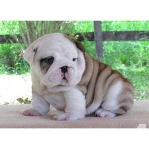 bulldog puppies for sale ny bulldog puppies for sale in rochester new york classified americanlisted