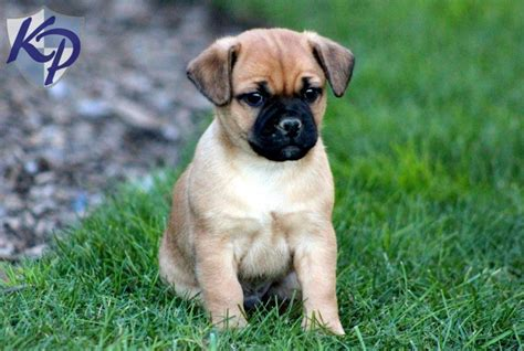 jug puppies for sale pug mix for sale breeds picture