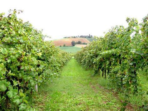 come coltivare l uva da tavola coltivare la vite