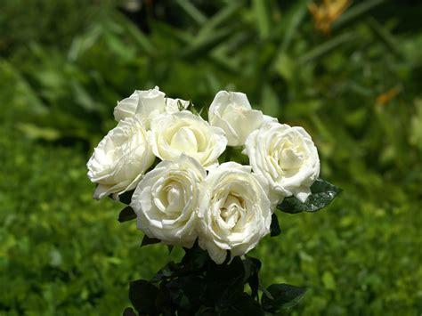te regalo una rosa la mas hermosa la mas bella de todas rosas hermosas y mas imagenes de flores hermosas amarillas