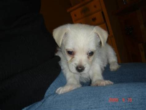maltese chihuahua mix puppies malchi chihuahua maltese mix info temperament puppies pictures