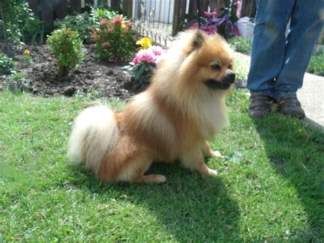 pomeranian puppies for sale stunning pomeranian for sale scunthorpe