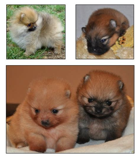 colored pomeranian puppies orange pomeranians pomeranian breed facts care pictures