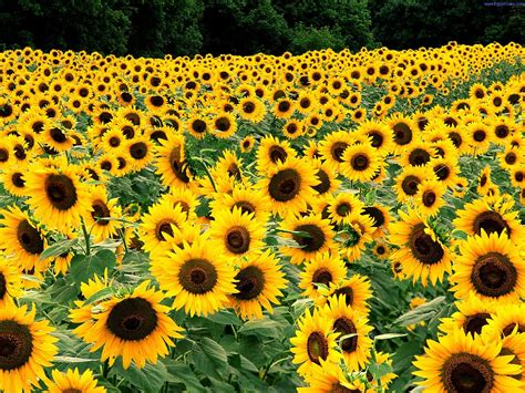 sun flower pictures beautiful flowers