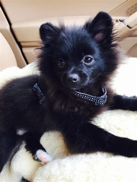 where did pomeranians come from best 25 black pomeranian ideas on black pomeranian puppies pomeranian