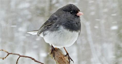 dark eyed junco identification   birds cornell