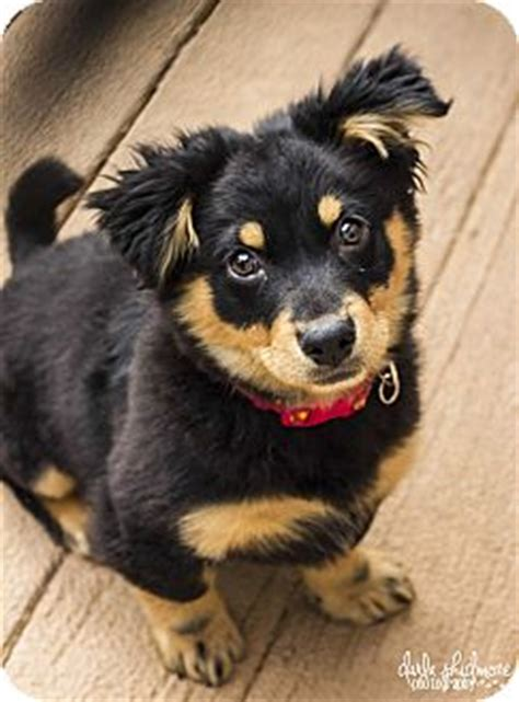 rottweiler corgi mix kate litter adopted puppy nc rottweiler corgi mix