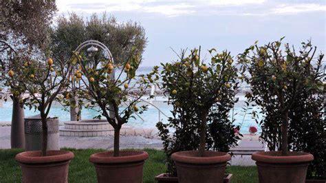 limone coltivazione in vaso come coltivare limoni sul balcone museogambarina