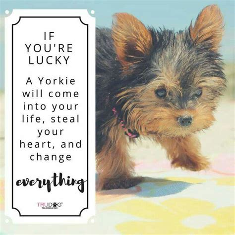 yorkie quotes 25 best ideas about yorkie hairstyles on terrier puppies
