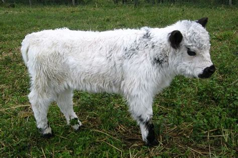 Animal House Absecon by Small White Miniature Galloway From A Farm In Australia