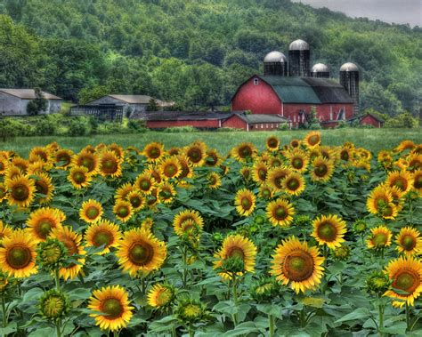 sunflower farm sunflower farm photograph by lori deiter