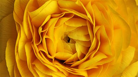 wallpapers 4k yellow ultra hd wallpaper flower 4k yellow rose flower hd