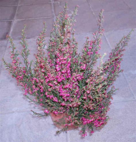fiori di erica piante da vaso erica erica carnea erica gracilis erica