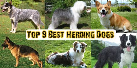 herding dogs top 10 kindest dogs breeds in the world dogs addict