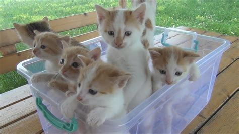 Kittens meowing (too much cuteness)   FunnyCat.TV