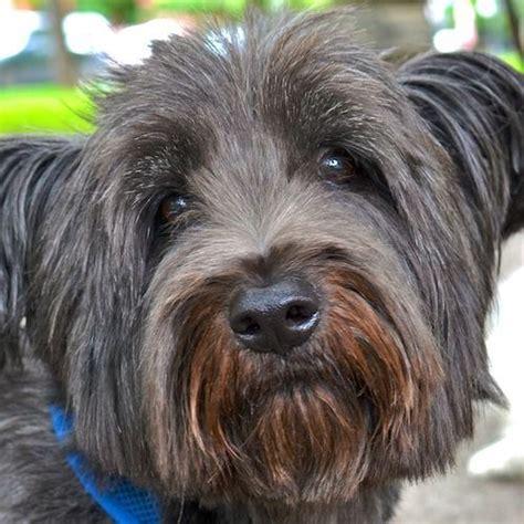 skye terrier summer groom 23 best dog grooming clients images on pinterest dog