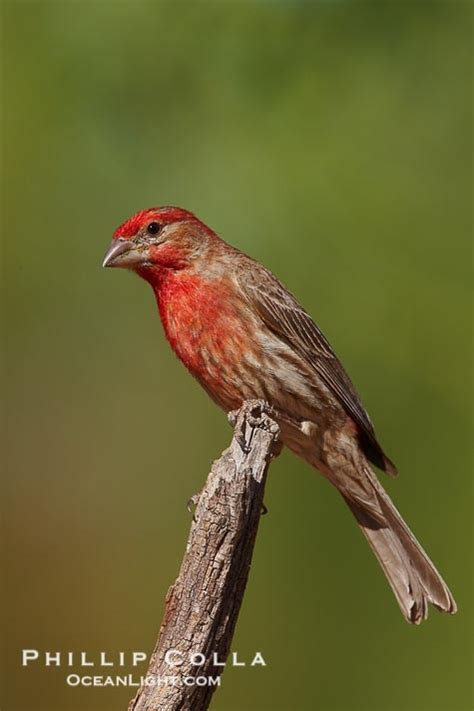 sound of a house finch 23 best images about visitors to our ponds and bird