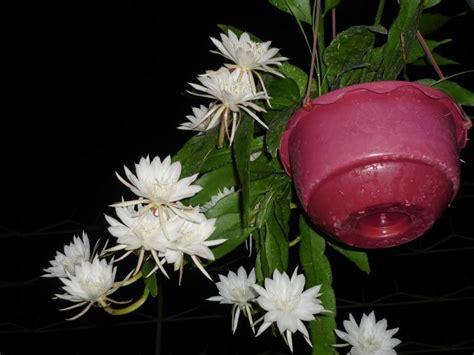Jual Bibit Bunga Wijaya Kusuma tanaman bunga berbau harum bibit