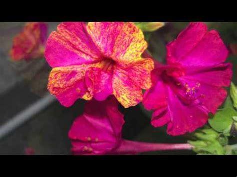 belli di notte fiori i miei fiori belli di notte e vari