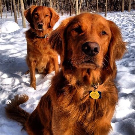 dogs that look like golden retrievers 17 best ideas about golden retrievers on golden retrivier golden