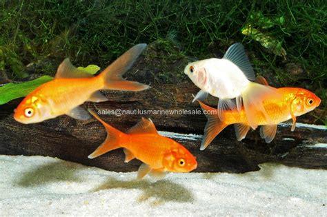Goldfish Feeders feeder goldfish