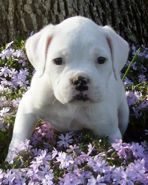 white boxer puppies for sale meaty the white boxer puppies daily puppy