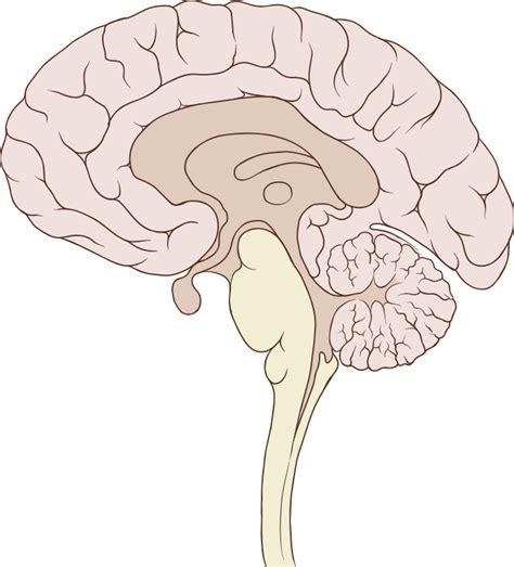 sagittal section brain file brain human sagittal section svg wikipedia