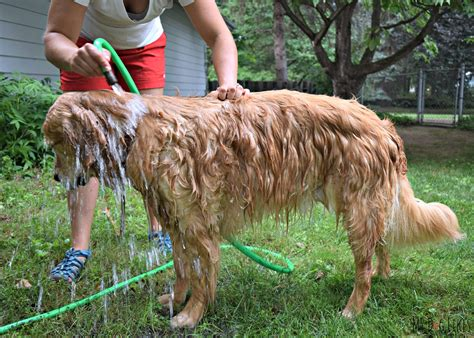 bathing a puppy how to bathe a a step by step guide