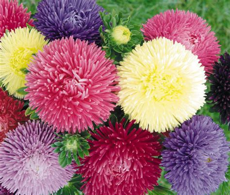 Bibit Bunga Aster Single Mixed China Flower Mix Colour aster gremlin mix callistephus chinensis seeds seedempire