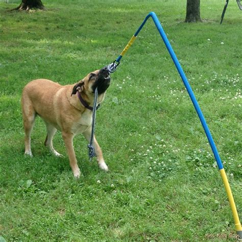 tetherball for dogs tether tug for endless hours of play and exercise miss molly says