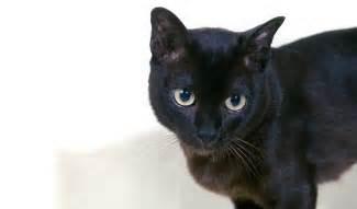 Light Shedding Dogs Burmese Cat Breed Information