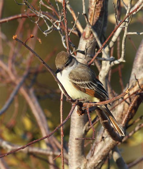 bill hubick photography ash throated flycatcher