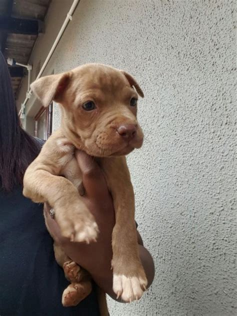 pitbull puppies for free pitbull puppies for sale durban