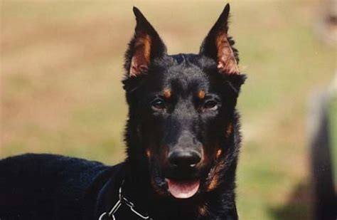 beauceron puppies for sale breeds b beauceron page 4