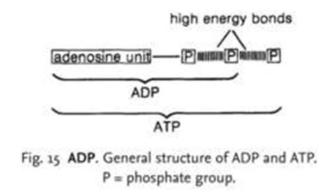 definition generic structure of biography adp definition of adp by medical dictionary