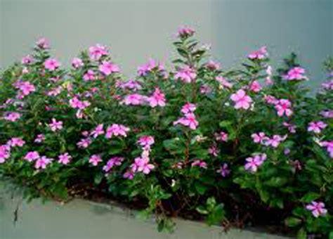vinca rosea plant vinca rosea  catharanthus roseus