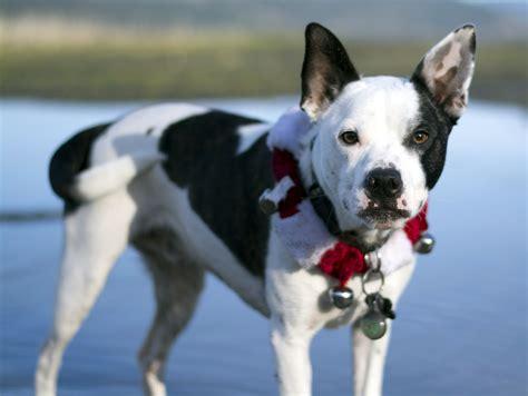 border collie rottweiler mix temperament border collie boston terrier mix allmutt