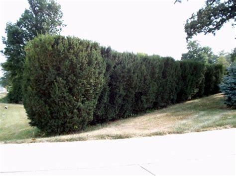 hicks yew shade tolerant evergreen shrub columnar fastigiate and narrowly upright plants