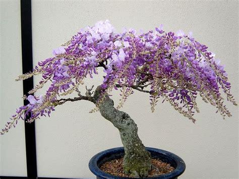 coltivare glicine in vaso bonsai glicine curare bonsai coltivare bonsai glicine