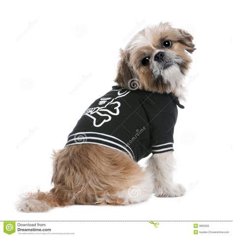 beige shih tzu puppies beige shih tzu dressed up 6 years royalty free stock photo image 9893265