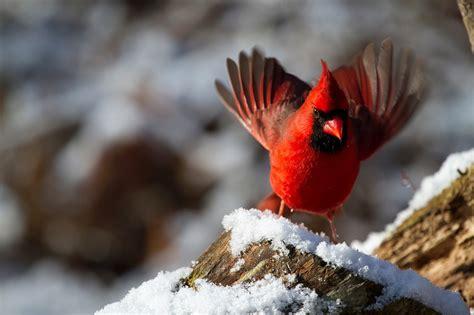 cardinal images free photo northern cardinal bird free image on