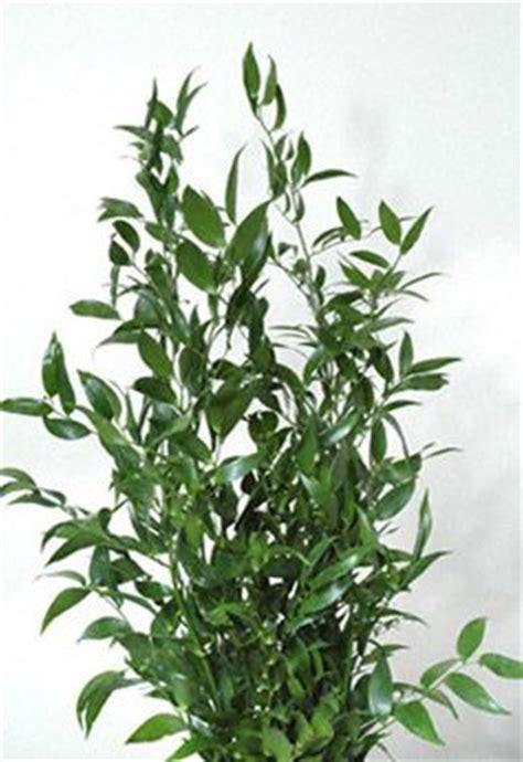 italian ruscus italian ruscus foliage navy hall pinterest