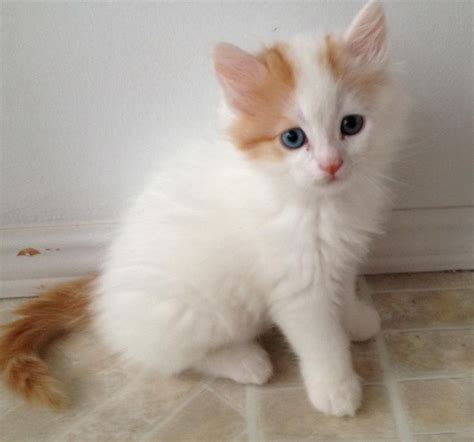 Vans Kitten 17 best images about turkish cats on
