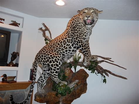 184 Guess Leopard leopard taxidermy pictures page 4