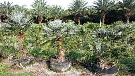 chamaerops humilis mediterranean fan palm locate find wholesale plants plantant com